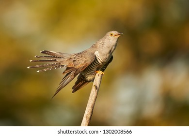 The common cuckoo (Cuculus canorus) in the in beautiful spring light. The cuckoo sits on a branch and calls for a partner.