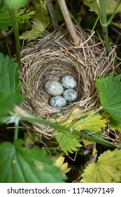 Common Cuckoo (Cuculus canorus) egg between Marsh Warbler (Acrocephalus palustris) eggs. Russia, the Ryazan region (Ryazanskaya oblast), the Pronsky District, Denisovo.