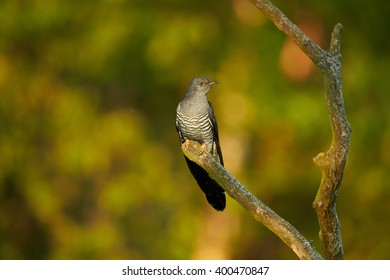 Common Cuckoo, Cuculus canorus perched on isolated branch against blurred green background in late spring. Czech republic, Europe.