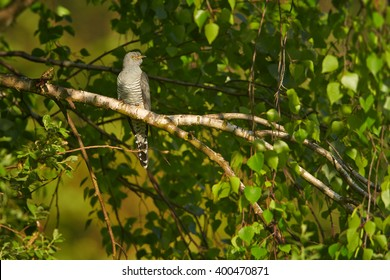 Common Cuckoo, Cuculus canorus perched on birch branch among leaves in late spring. Czech republic, Europe.