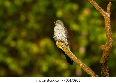 Common Cuckoo, Cuculus canorus perched on isolated branch against blurred, dark  green background in late spring. Czech republic, Europe.