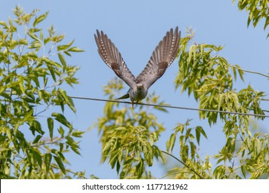 Common Cuckoo (Cuculus canorus). Russia, the Ryazan region (Ryazanskaya oblast), the Pronsky District, Denisovo.