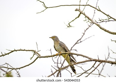 Common Cuckoo. Cuculus canorus. White background.
