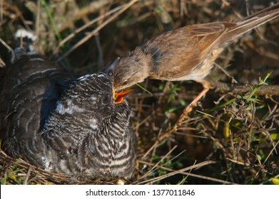 Common cuckoo - Cuculus canorus Young in the nest fed by his adoptive mother - Sylvia conspicillata - Spectacled Warbler