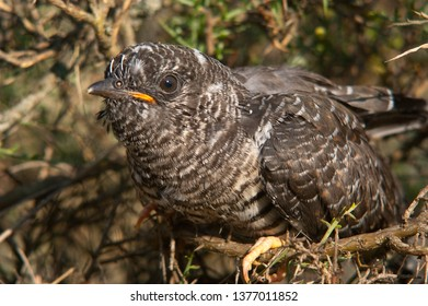 Common cuckoo - Cuculus canorus Young in the nest