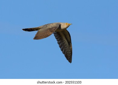 Common cuckoo in flight isolated on blue sky.