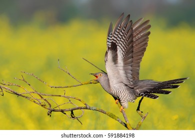 Common cuckoo. Male.