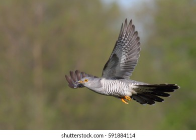 Common cuckoo. Male in flight.