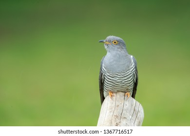 The common cuckoo is a member of the cuckoo order of birds, Cuculiformes. This species is a widespread summer migrant to Europe and Asia, and winters in Africa