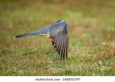 The common cuckoo is a member of the cuckoo order of birds.
