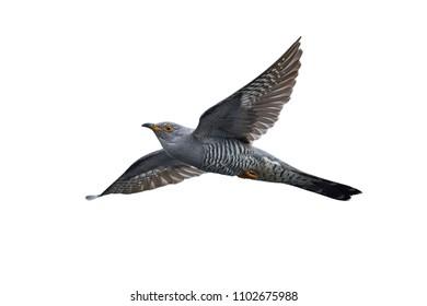 Common cuckoo in it natural habitat in Denmark