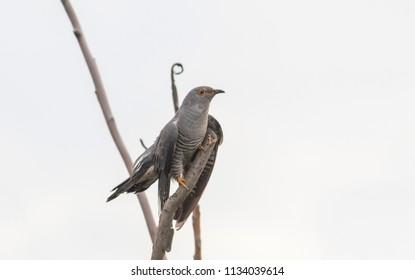 Common cuckoo sitting on tree