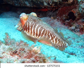 Common cuttlefish or European common cuttlefish, Sepia officinalis.
