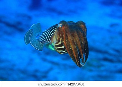 Common cuttlefish (Sepia officinalis) in the waters of the atlantic