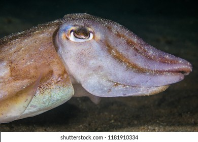 Common Cuttlefish (Sepia vermiculata) underwater close up of animals' head, side view.