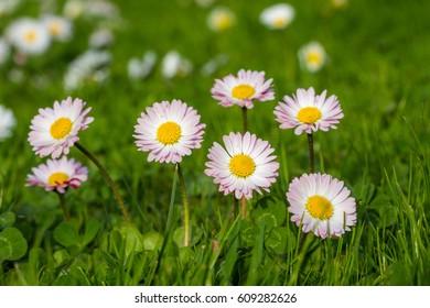 Common daisies (Bellis perennis) - spring flowers