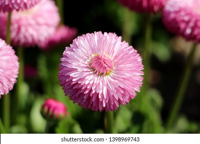 Common daisy or Bellis perennis or English daisy or Meadow daisy or Lawn daisy herbaceous perennial plant with large pink pompon like flower with yellow center surrounded with other flowers