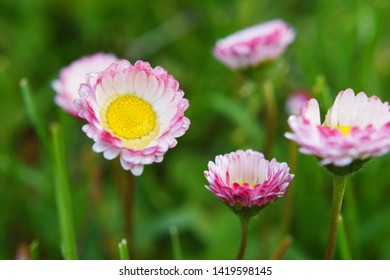 Common daisy bellis perennis or english daisy or lawn daisy herbaceous perennial plants with pink petal flowers with yellow center growing in green grass field on summer day after rain.