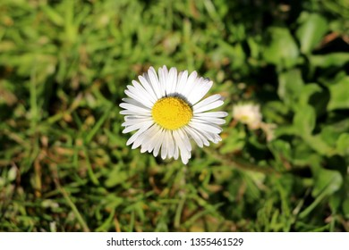 Common daisy or Bellis perennis or Lawn daisy or English daisy or Bruisewort or Woundwort herbaceous perennial plant with sessile flowers containing white ray florets and yellow disc florets