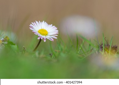 Common daisy (Bellis perennis) on the meadow in spring