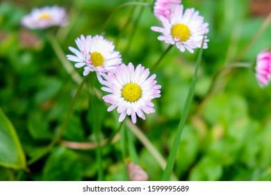 Common Daisy Blossom Purple White