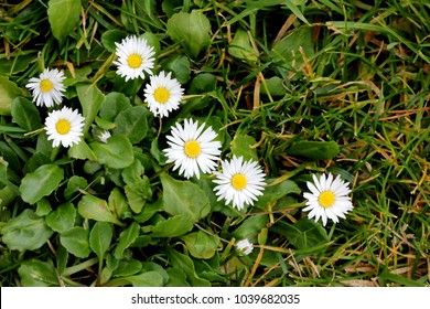 Common daisy, English daisy, Bellis perennis, herbaceous perennial with rosette of spoon shaped leaves and white flower head on leafless scape, disc yellow.