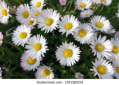 common daisy, lawn daisy or English daisy (Bellis perennis)