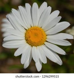 Common daisy (Leucanthemum vulgare), close up of the flower head