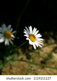 Common daisy plant