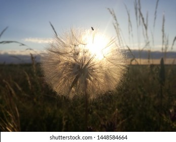 The common dandelion, of ​​high concentration of pollen. Health, possible complications in patients with allergy pathology. Backlit sunset plant. The amount of insects and inner life is observed.