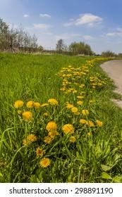 Common Dandelion flowers (Taraxacum officinale) in spring, Lower Saxony, Germany, Europe