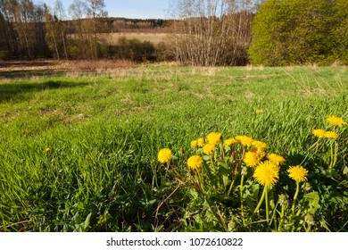 Common dandelion and grass in summer landscape