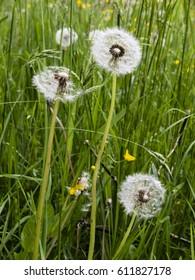 common dandelion in a meadow