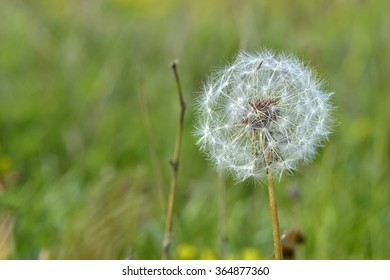 Common dandelion (Taraxacum officinale).
