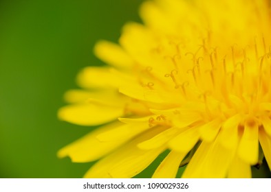 Common Dandelion, Taraxacum officinale, extreme macro on yellow flower head. Full frame background with shallow depth field, selective focus on flower stamens