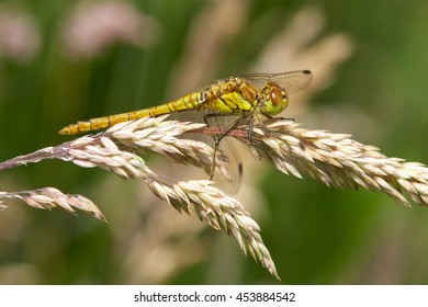 Common Darter dragonfly on seed head