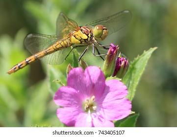 Common Darter dragonfly (Sympetrum striolatum), female perched, Welney WWT Reserve, Norfolk, England, UK.
