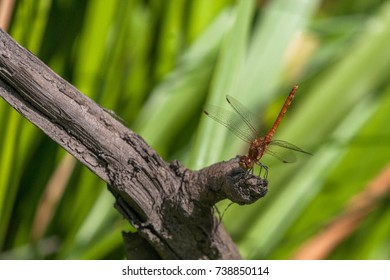 Common Darter male showing yellow thorax panels, perched on a dried tree branch with reeds in the background.