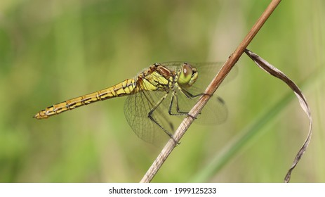 Common Darter on the hunt