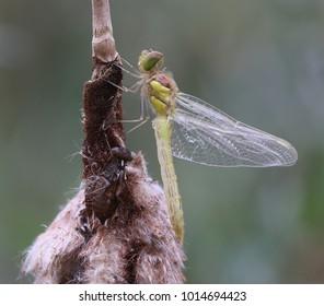 Common Darter - Sympetrum striolatum