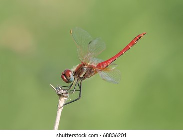 A Common Darter (Sympetrum striolatum) perching on twig with the tail elevated.