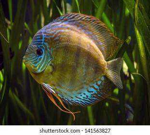 Common Discus fish