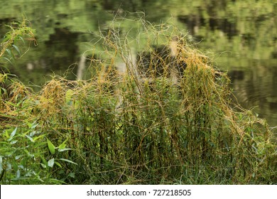 Common dodder, Cuscuta gronovii, a parasite with no chlorophyll, growing over flowering plants at the Belding Wildlife Management Area in Vernon, Connecticut.