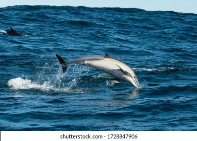Common dolphin breaching during the sardine run, South Africa.