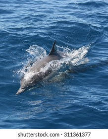 A common dolphin cuts through the surface of the ocean