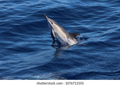 Common dolphin (Delphinus delphis) off the Azores