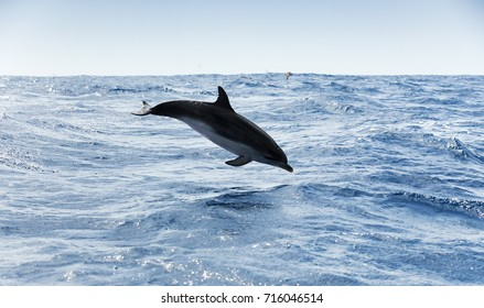 Common Dolphin jumps in Atlantic Ocean near Madeira Island, Portugal