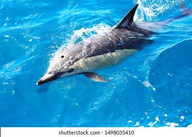 Common dolphin in Paihia, Bay of Islands, South Pacific Ocean, New Zealand. The common dolphin (Delphinus delphis) is the most abundant dolphin in warn and tropical oceans.