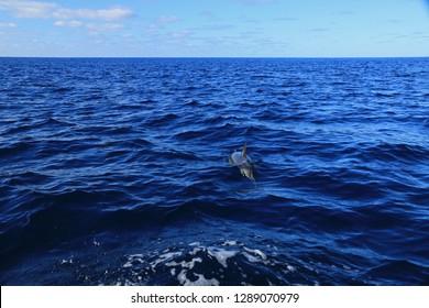 Common dolphin, Sao Miguel Island, Azores, Portugal
