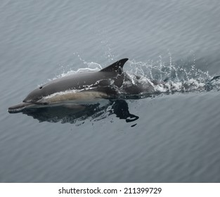 A common dolphin swims alone of the ocean surface